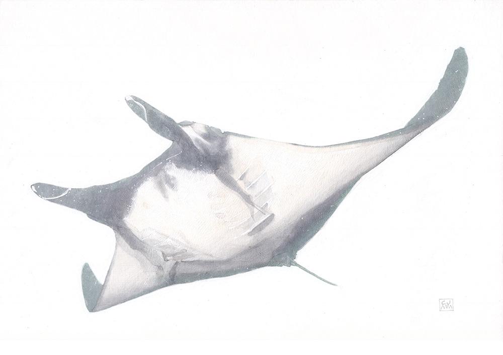 The Life Underwater Manta Ray Mobula birostris Drawing Illustration