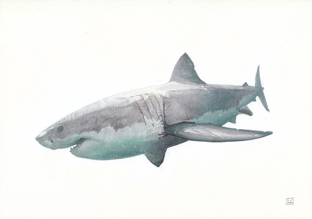 The Great White Shark 01 The Life Underwater Drawing Illustration