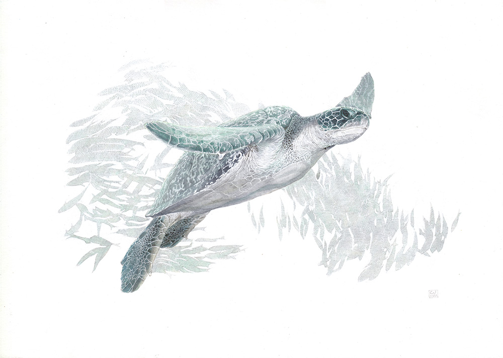 Green Sea Turtle The Life Underwater Drawing Illustration