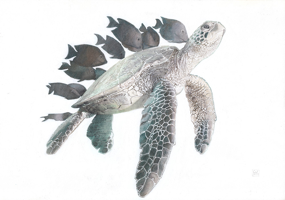 Green Sea Turtle 04 The Life Underwater Drawing Illustration