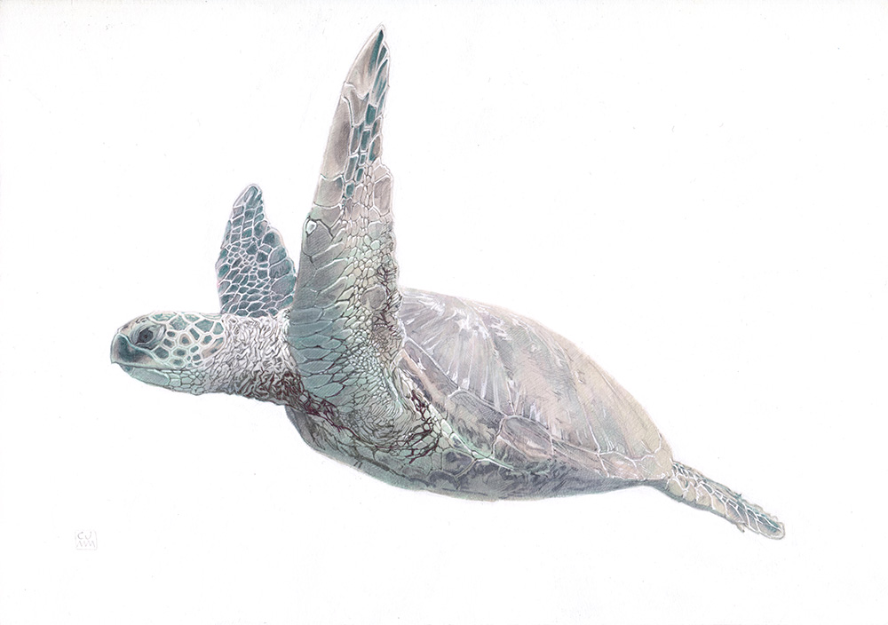 Green Sea Turtle 03 The Life Underwater Drawing Illustration