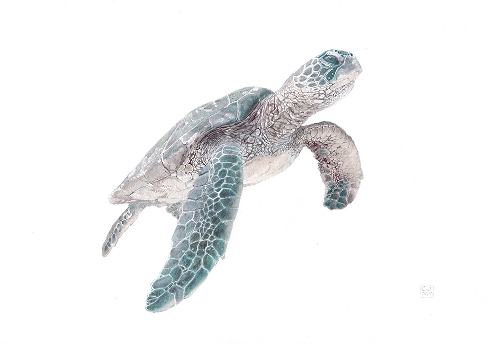 Green Sea Turtle 06 The Life Underwater Drawing and Illustration