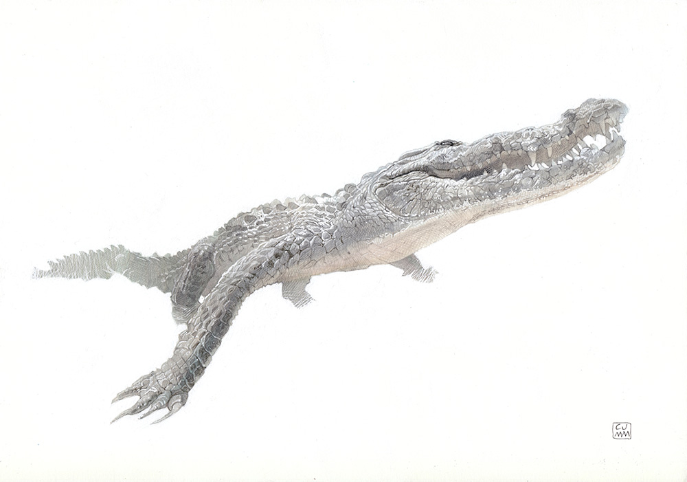 Saltwater Crocodile 01 The Life Underwater Drawing Illustration