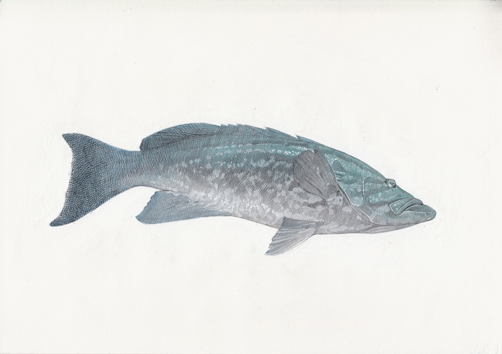 Mottled Grouper 01 The Life Underwater Drawing Illustration