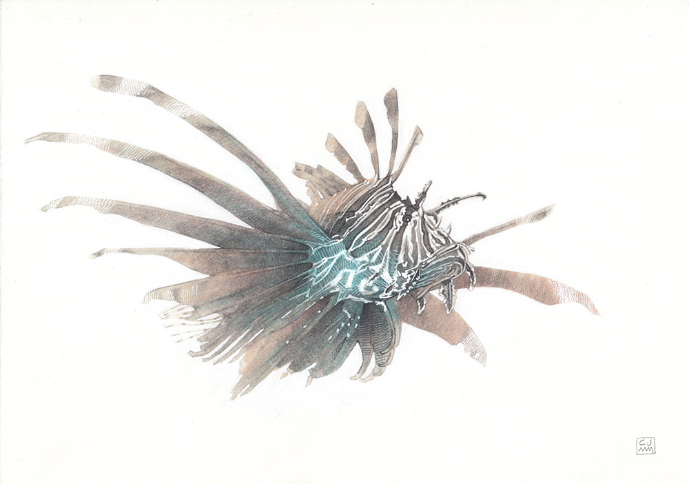 Lionfish 02 The Life Underwater Drawing Illustration