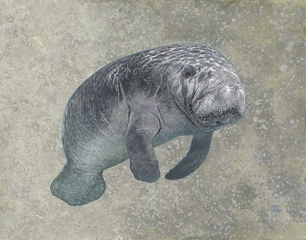 Manatee 01 The Life Underwater Project Drawing and Illustration
